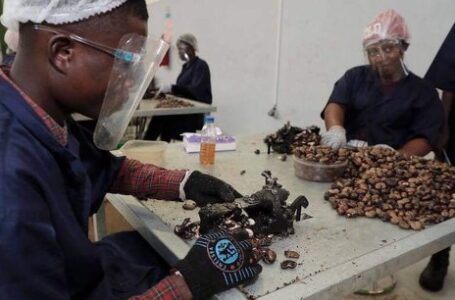 Transformation de la noix de cajou, le pari gagnant de la Côte d'Ivoire  ?