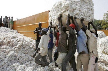 Côte d'Ivoire : le prix du coton graine fixé à 300 FCFA/kg pour la campagne 2021-2022